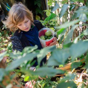 A child picks tomatos